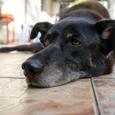 INVECCHIAMENTO E DISFUNZIONE COGNITIVA CANINA (CCD): il fondamentale ruolo dell'alimentazione nel cane anziano